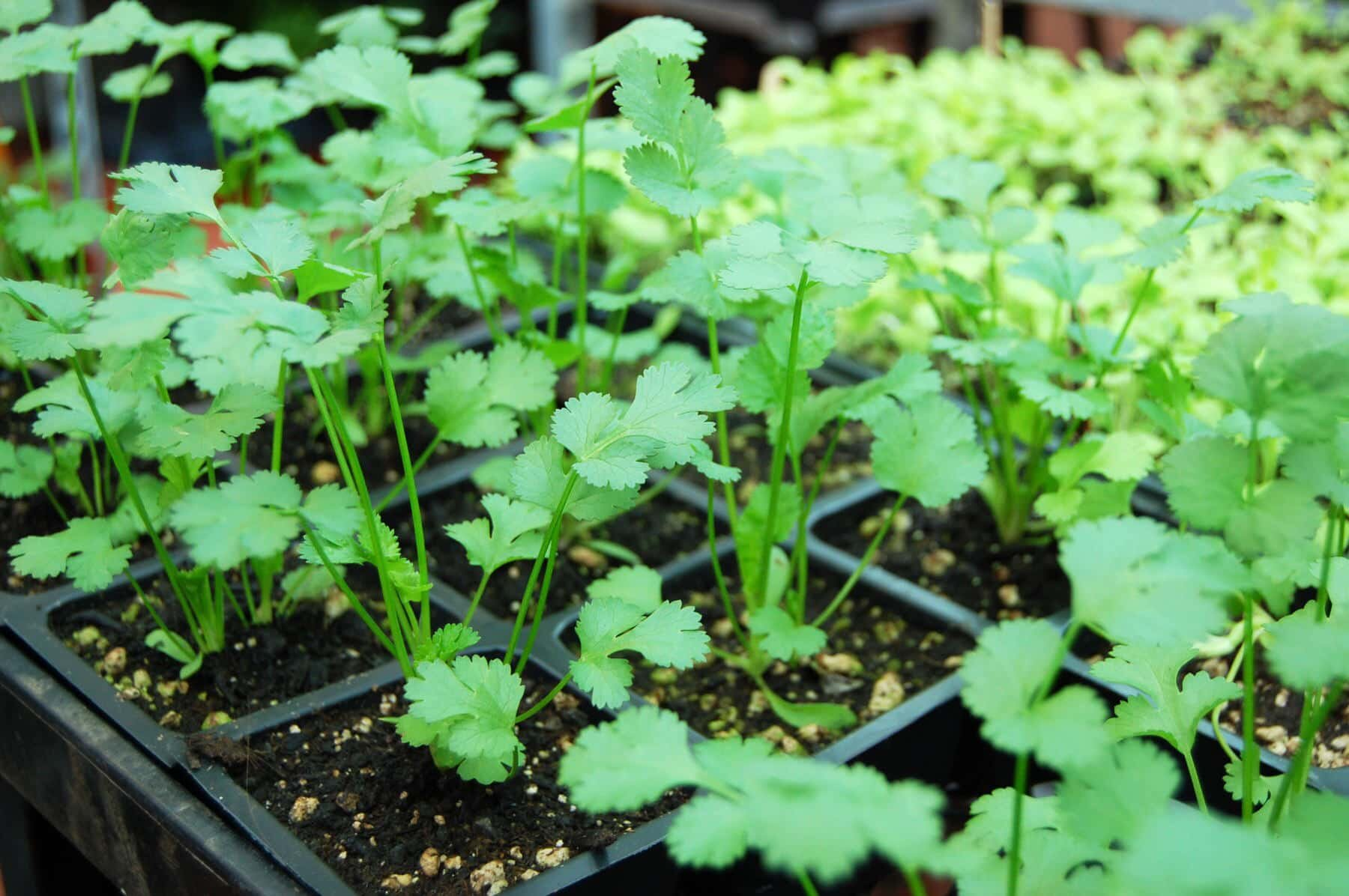 coriander plants growing in a pot