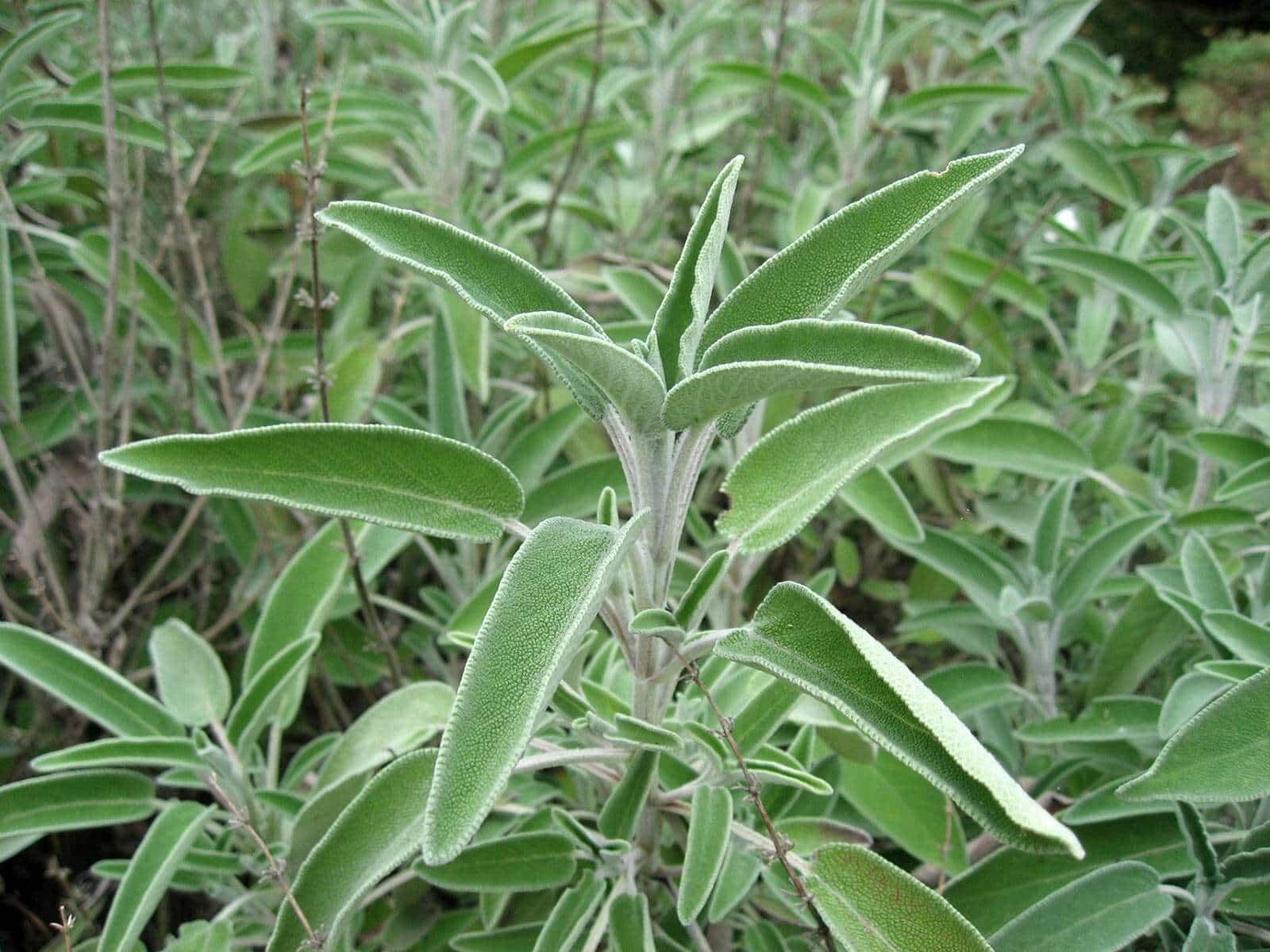 wild sage plant