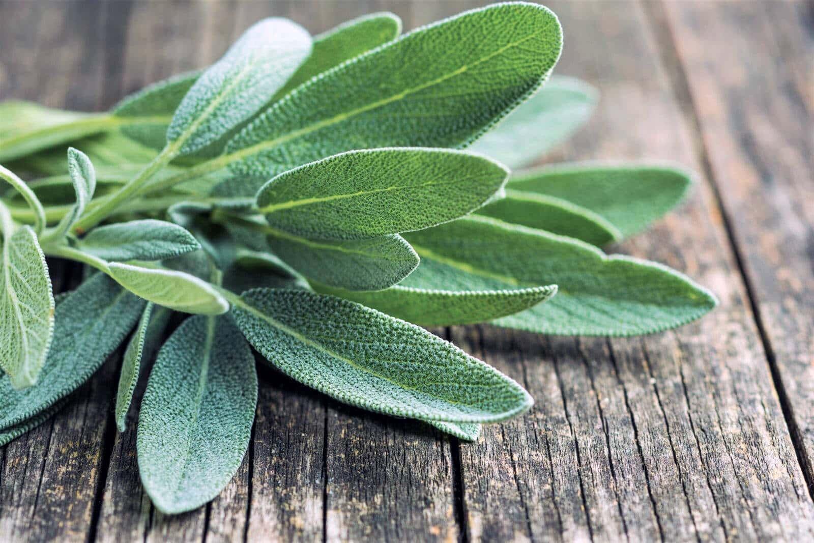 bundle of sage leaves