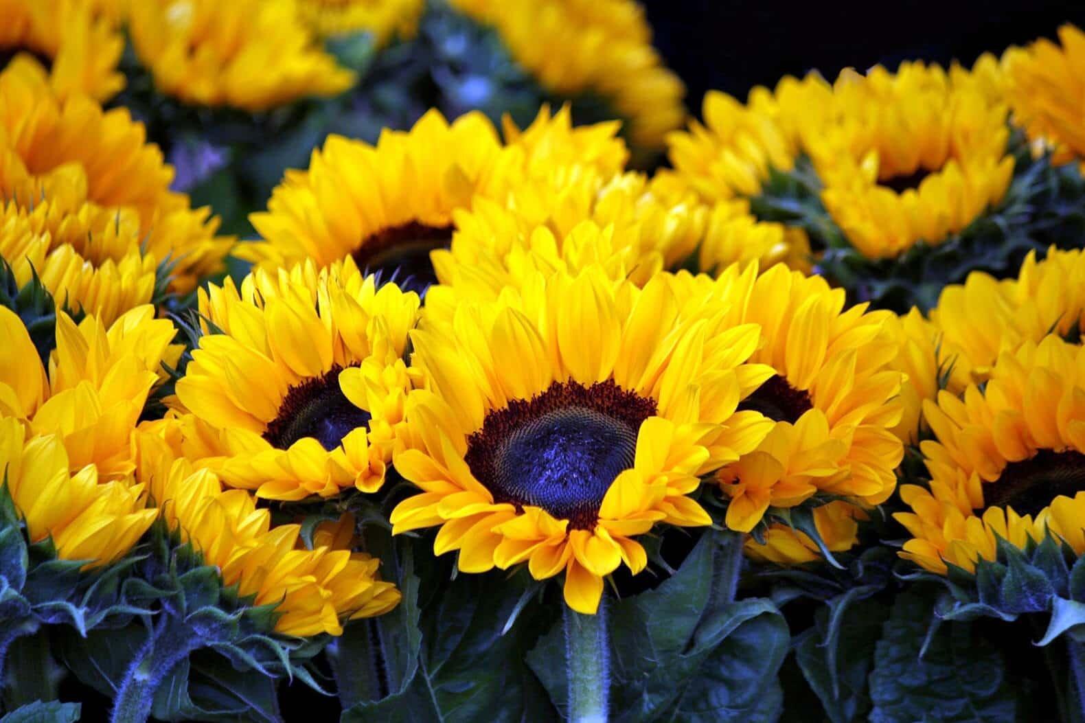 yellow budding sunflowers