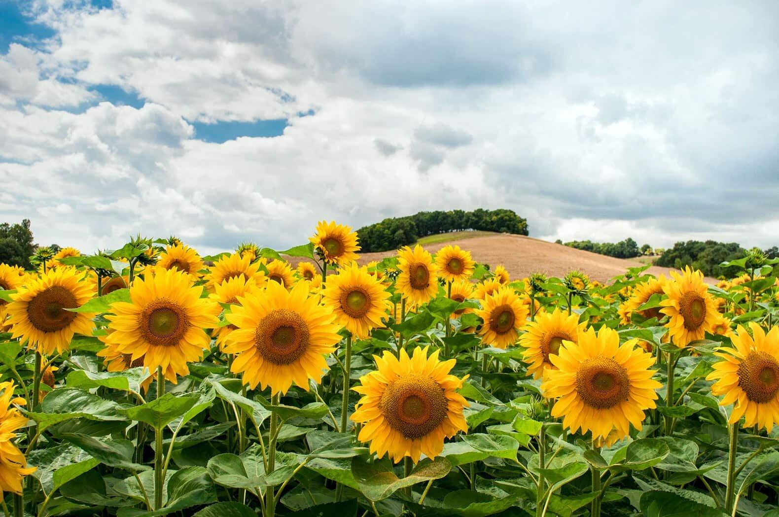 sunflowers growing in a farm