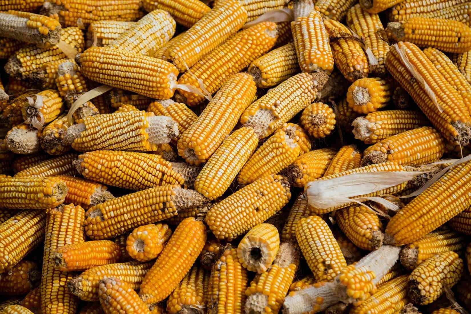 bunch of corn on the cob
