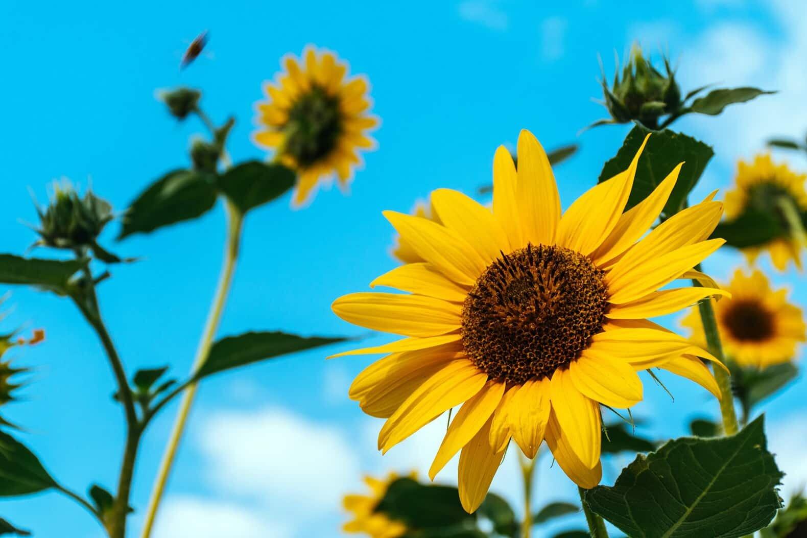 sunflower plants under a blue sky