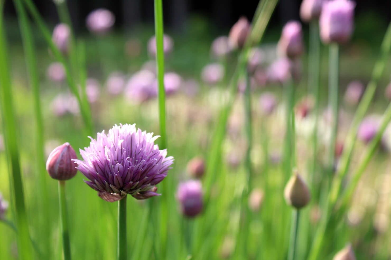 chive flowers close up