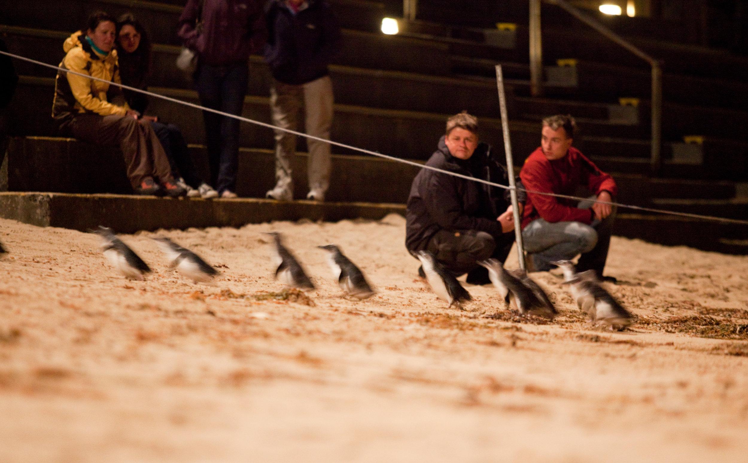 Penguin Parade_10 (full res).jpg