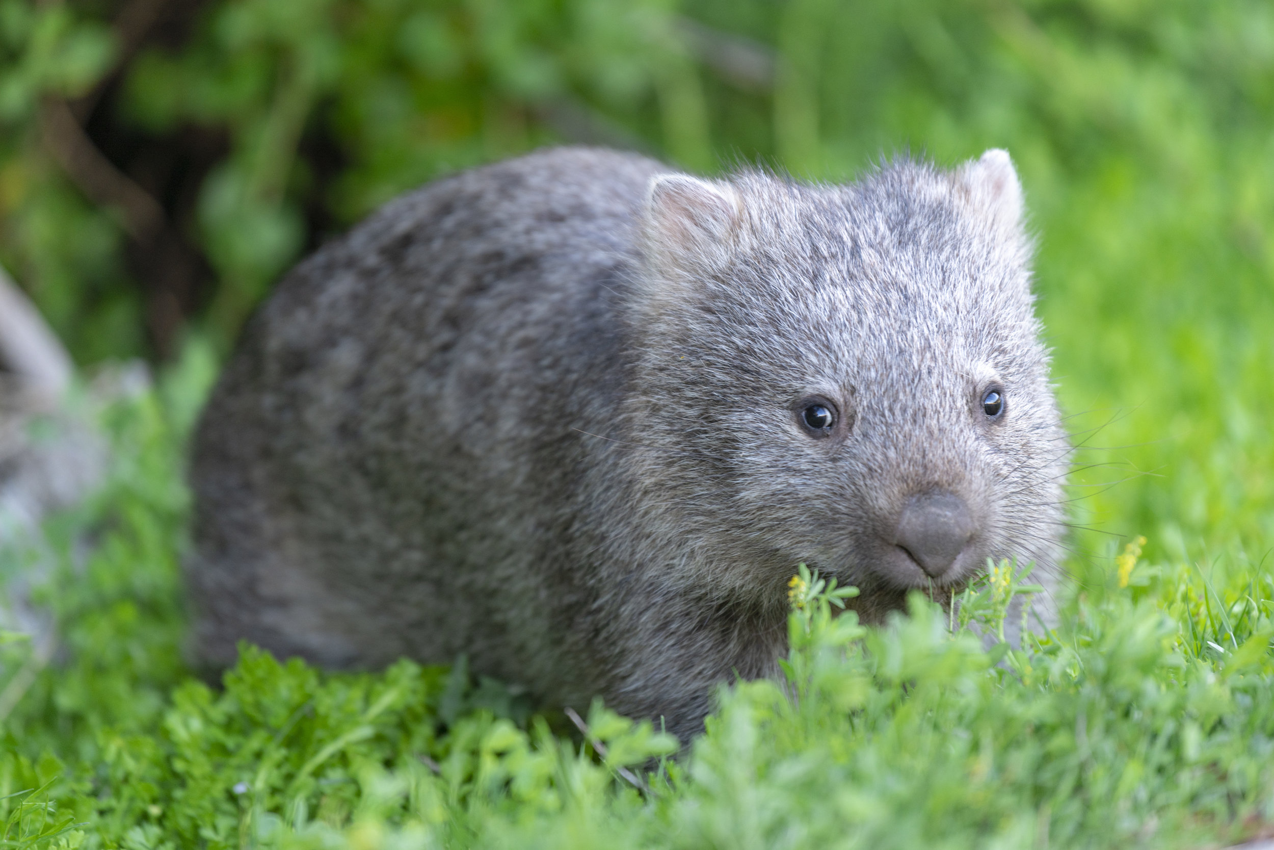 ferocious man eating wombat.jpg