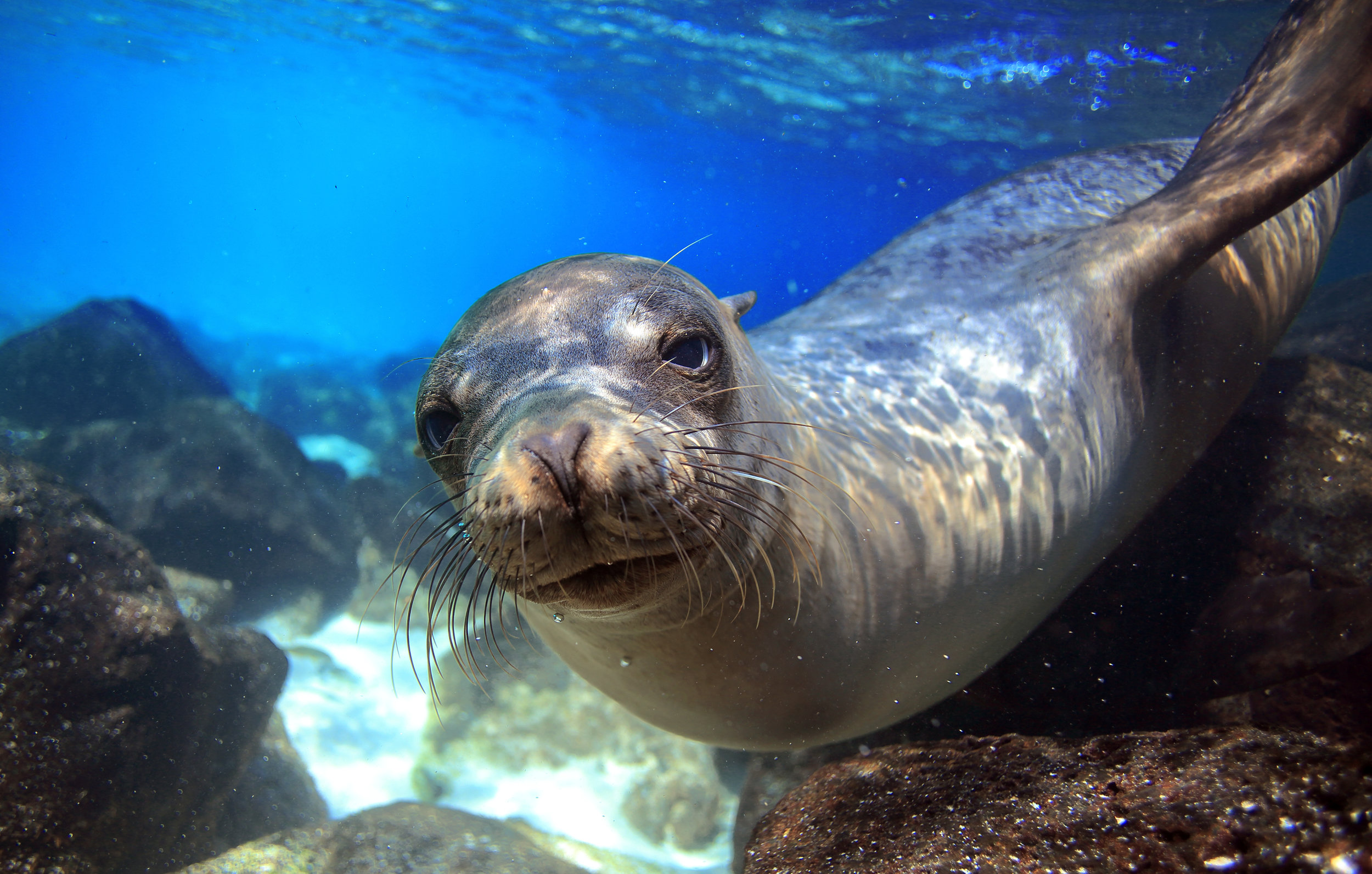 Sea lion swimming underwater in tidal lagoon in the Galapagos Islands.