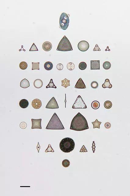diatom1.jpg
