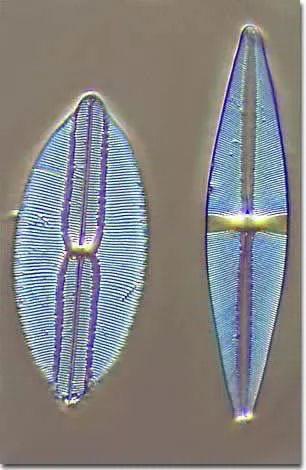 diatom3.jpg