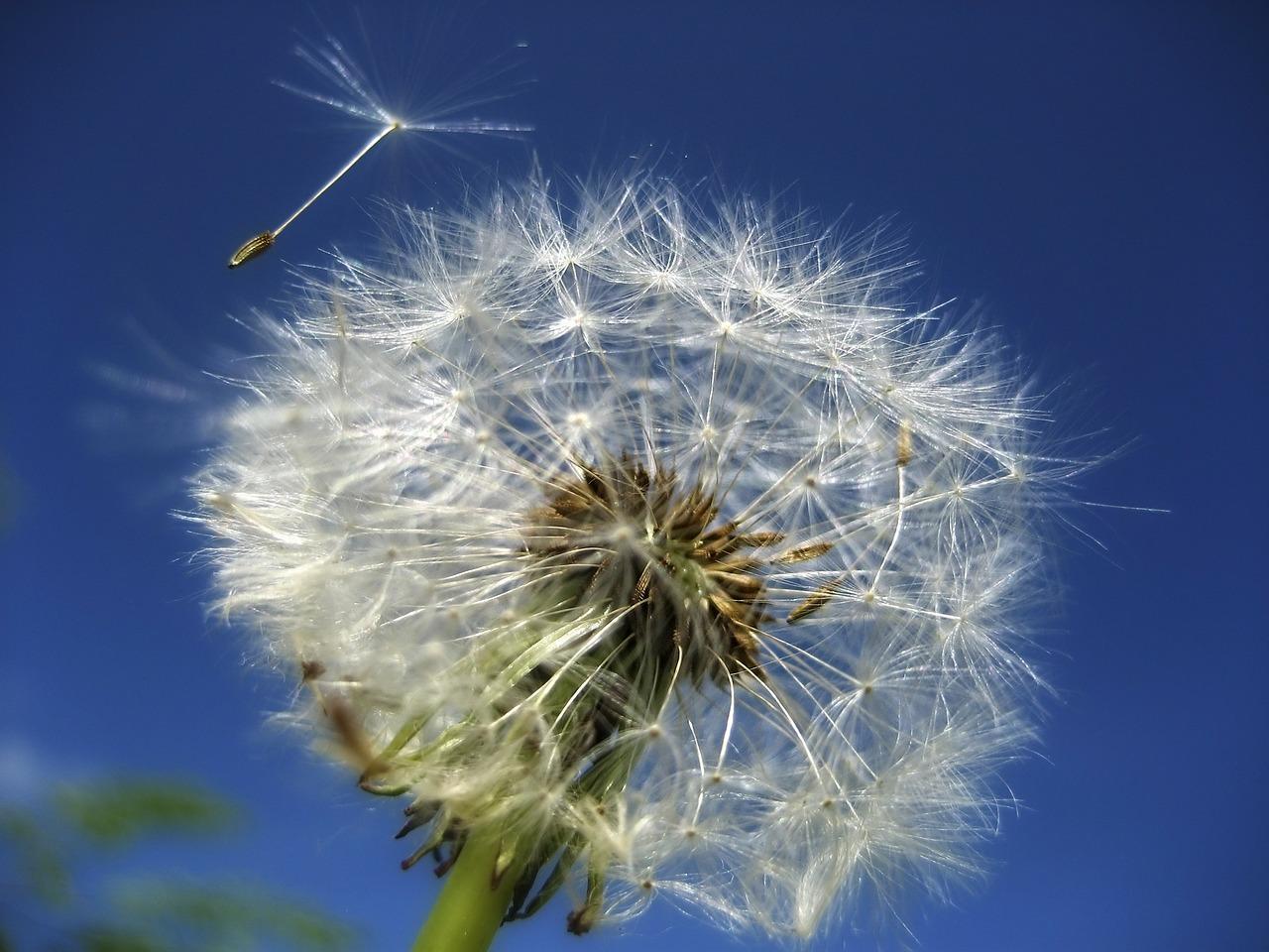 dandelion-53800_1280.jpg