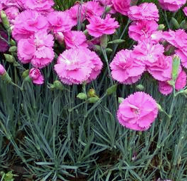 Dianthus Tickled Pink.jpg