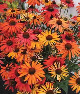Orange Cone Flower.jpg