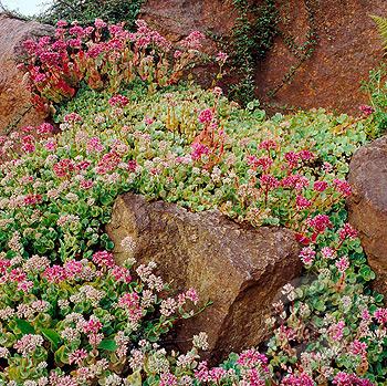 Stonecrop Sedum.jpg