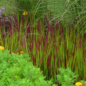 Japanese Blood Grass.jpg