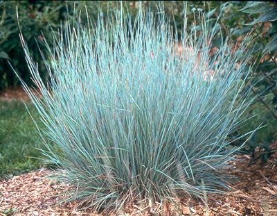 Little Bluestem Grass.jpg