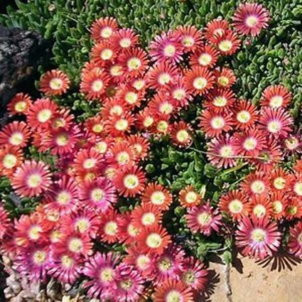 Red Mountain Ice Plant.jpg