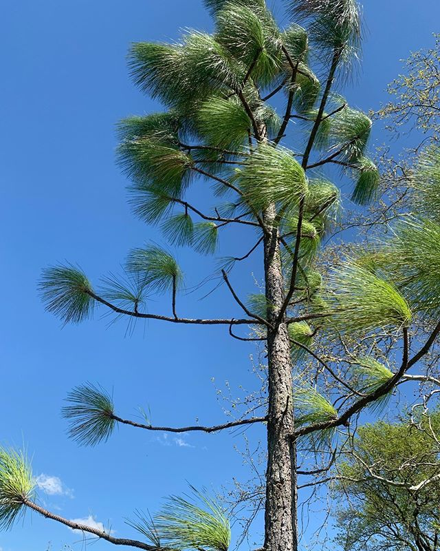"""Pinus palustris"", AKA: Longleaf Pine.  Growing up in Arlington we had one of these in our backyard and had no idea what it was, referring to it as ""The Dr. Seuss Tree"". Decades later I stumble upon it at one of my favorite places: Virginia State Arboretum."