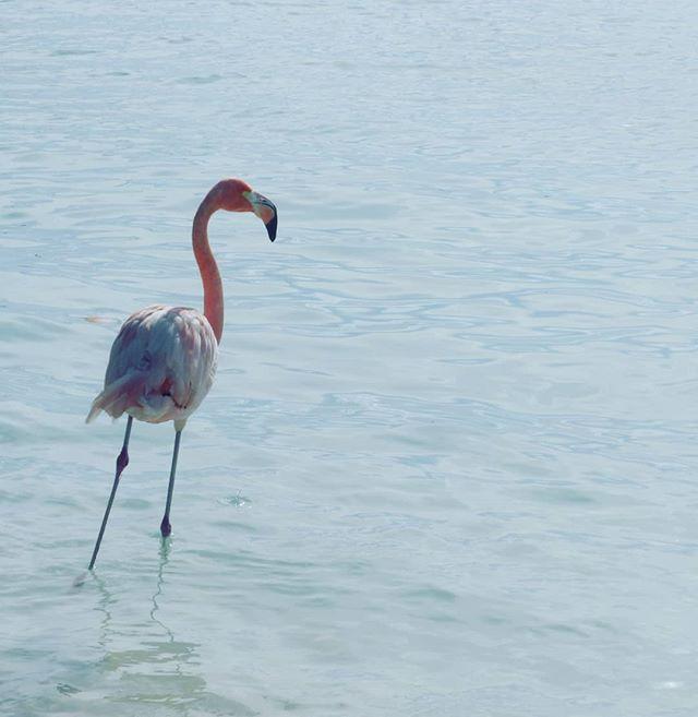 👋🌊😁 . . . . . . . . #aruba #allaruba #visitaruba #travel #inspiration #nature #islandhopping #islandlife #islandliving #outislands #saltlife #island #paradisebeach #tropicalvibes #paradiseisland #saltescape #islandvibes #vitaminsea #ilovetravel #bestvacations #wonderful_places #travelgram #instatravel #doyoutravel  #flamingo #flamingobeacharuba