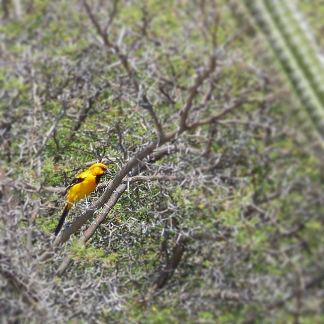 Orange Trupial are beautiful, mostly orange with a black head. But these bird are also known for being violent. They don't build nests but rather steal other birds nests.🍃🌵 . . . . . . . . #aruba #allaruba #visitaruba #travel #inspiration #nature #islandhopping #islandlife #islandliving #outislands #saltlife #island #paradisebeach #tropicalvibes #paradiseisland #saltescape #islandvibes #vitaminsea #ilovetravel #bestvacations #wonderful_places #travelgram #instatravel #doyoutravel  #wildanimals #wildbirds #orangetrupial #trupial