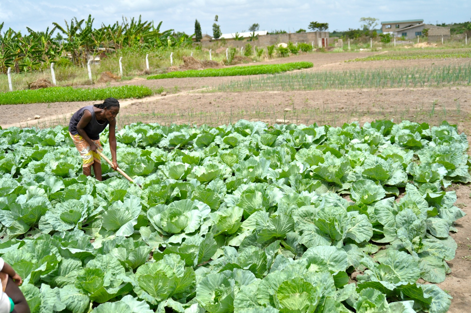 Another woman farming student in cabbage.jpg