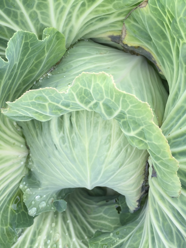 cabbage upclose and fresh.png