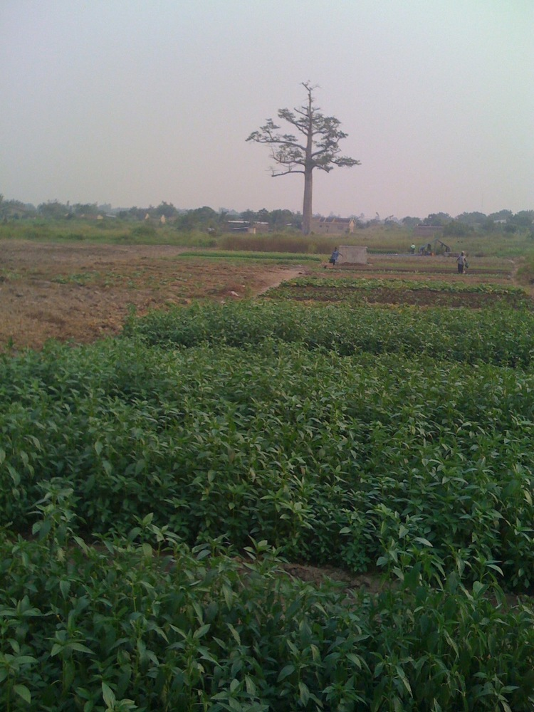 PHG farm in 2006 before the tree was cut.jpg