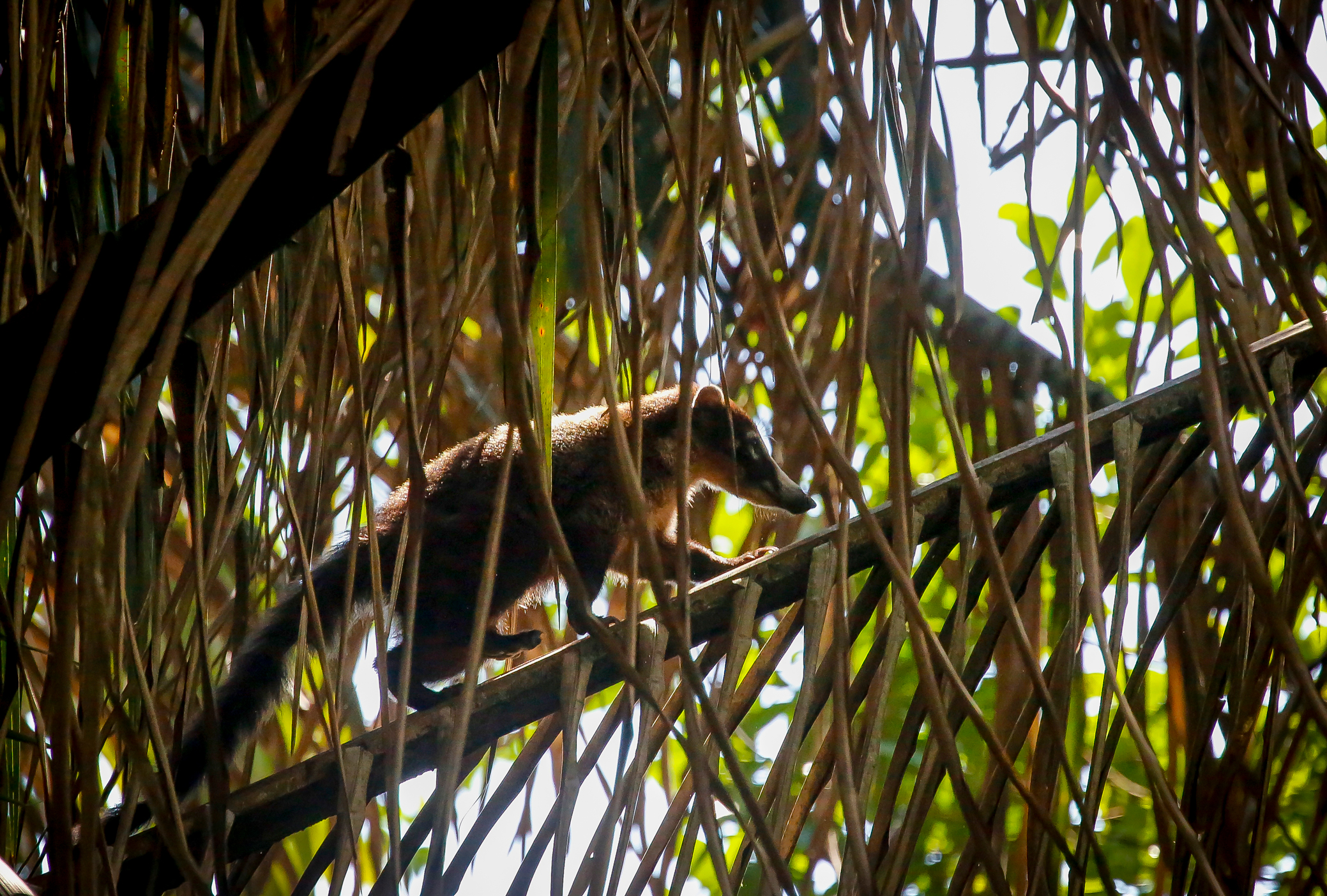 White Nosed Coati on a Palm Frond