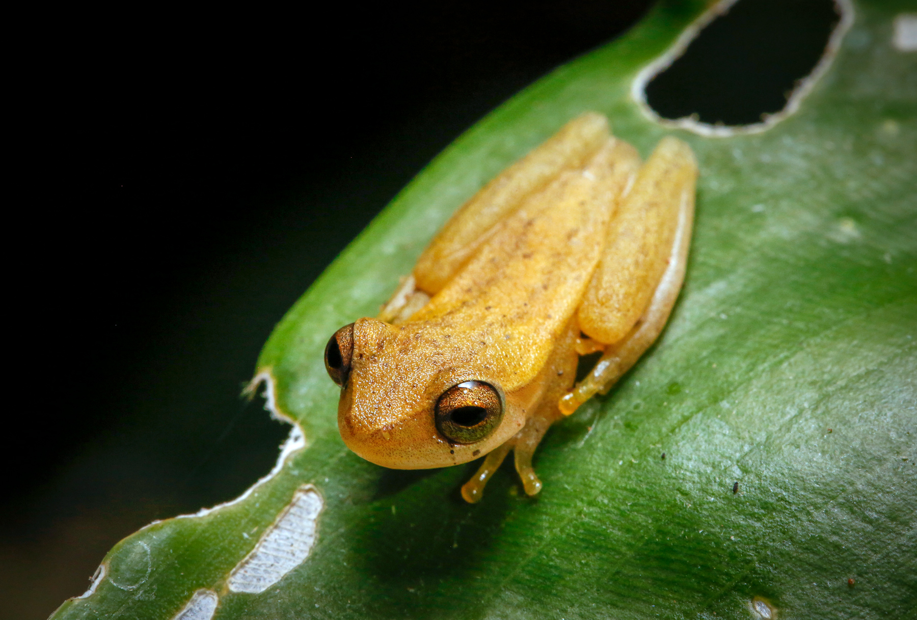 Small Headed Tree Frog