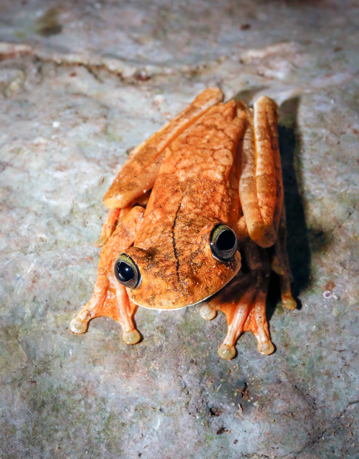 Photogenic Gladiator Tree Frog