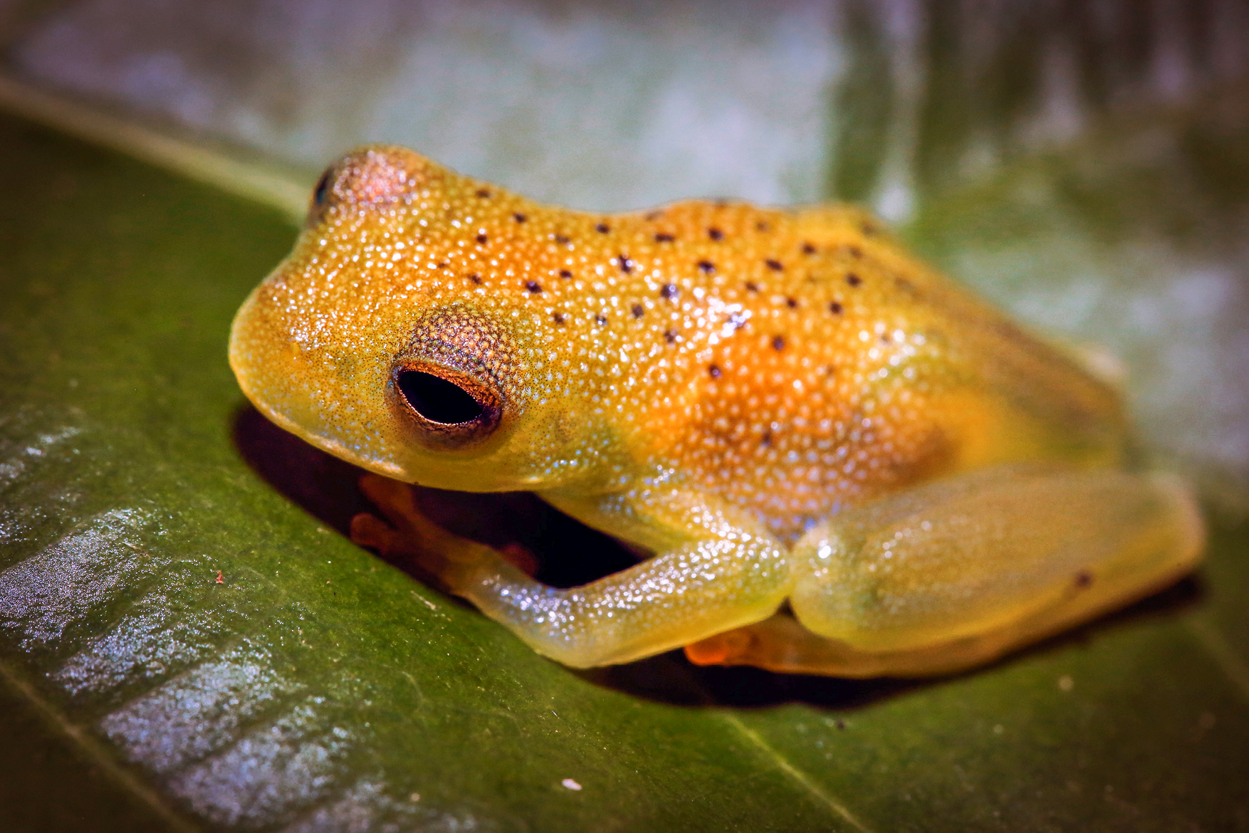 Sleepy Eyed Granular Glass Frog