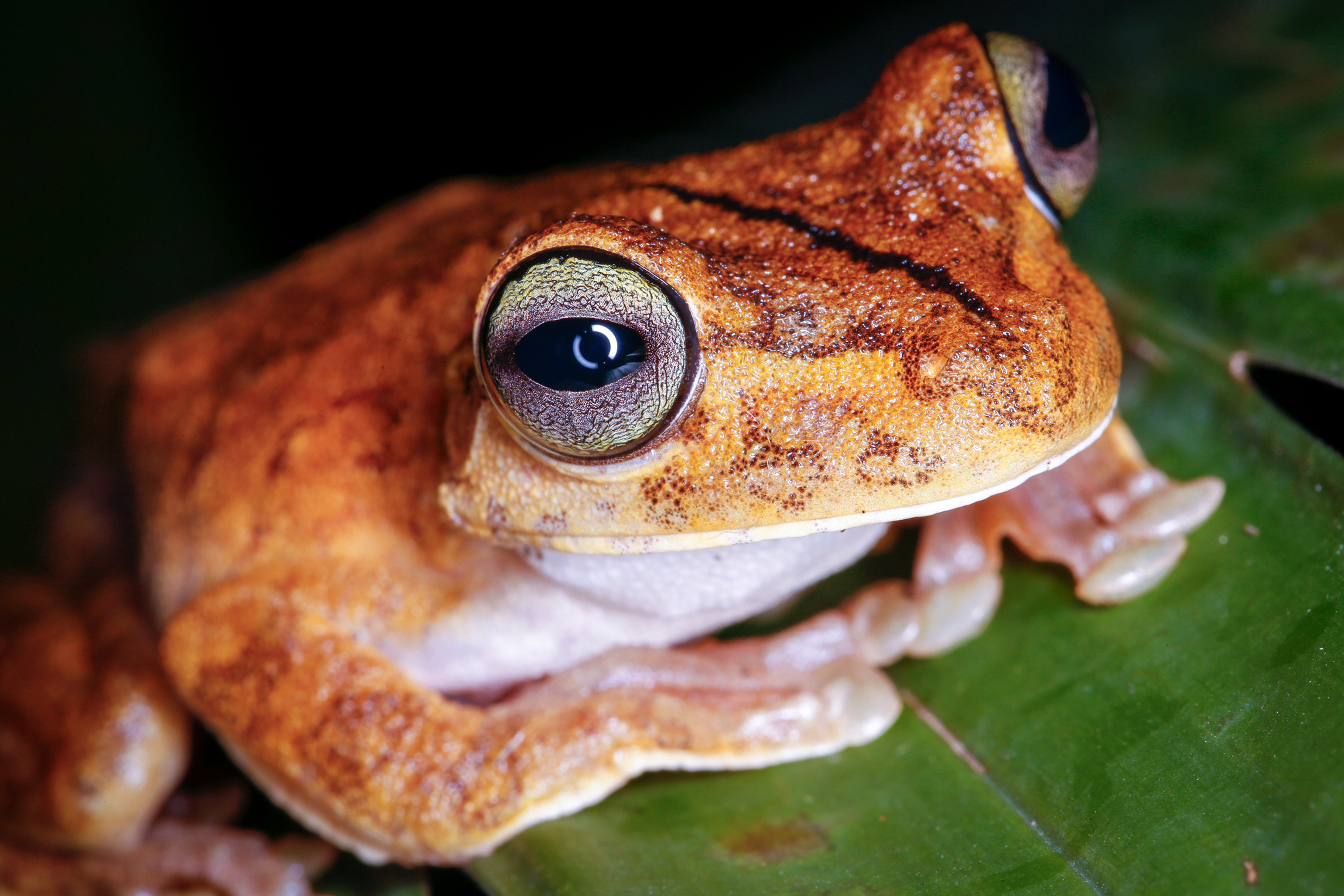 Gladiator Tree Frog Close-Up