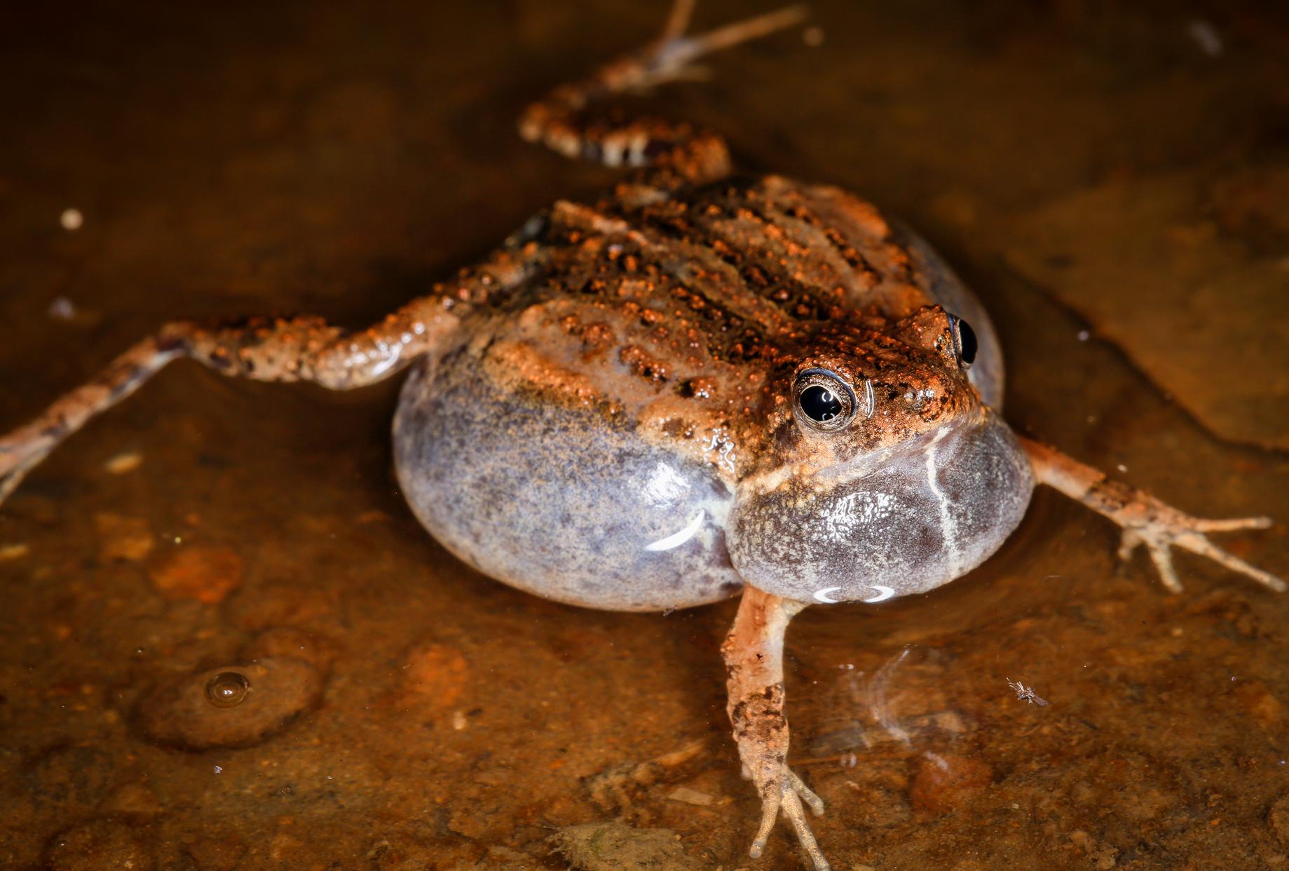 Tungara Frog Calling