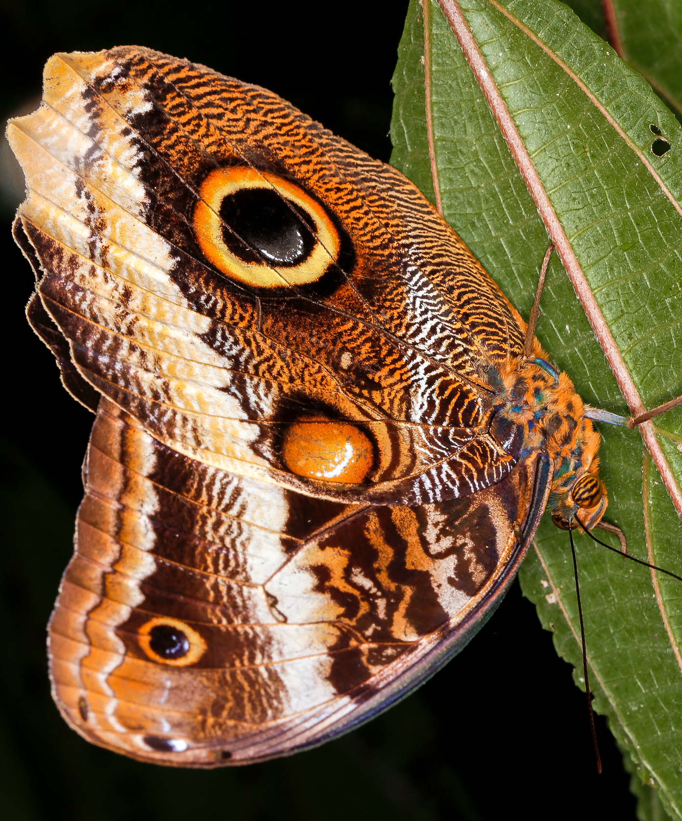 Owl Butterfly on a Leaf