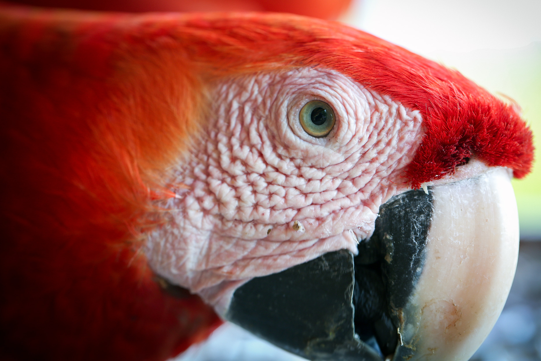 Scarlet Macaw- Stare Into My Eye . Taken in Carate, Costa Rica. Photo by Ben Blankenship. March 2018.