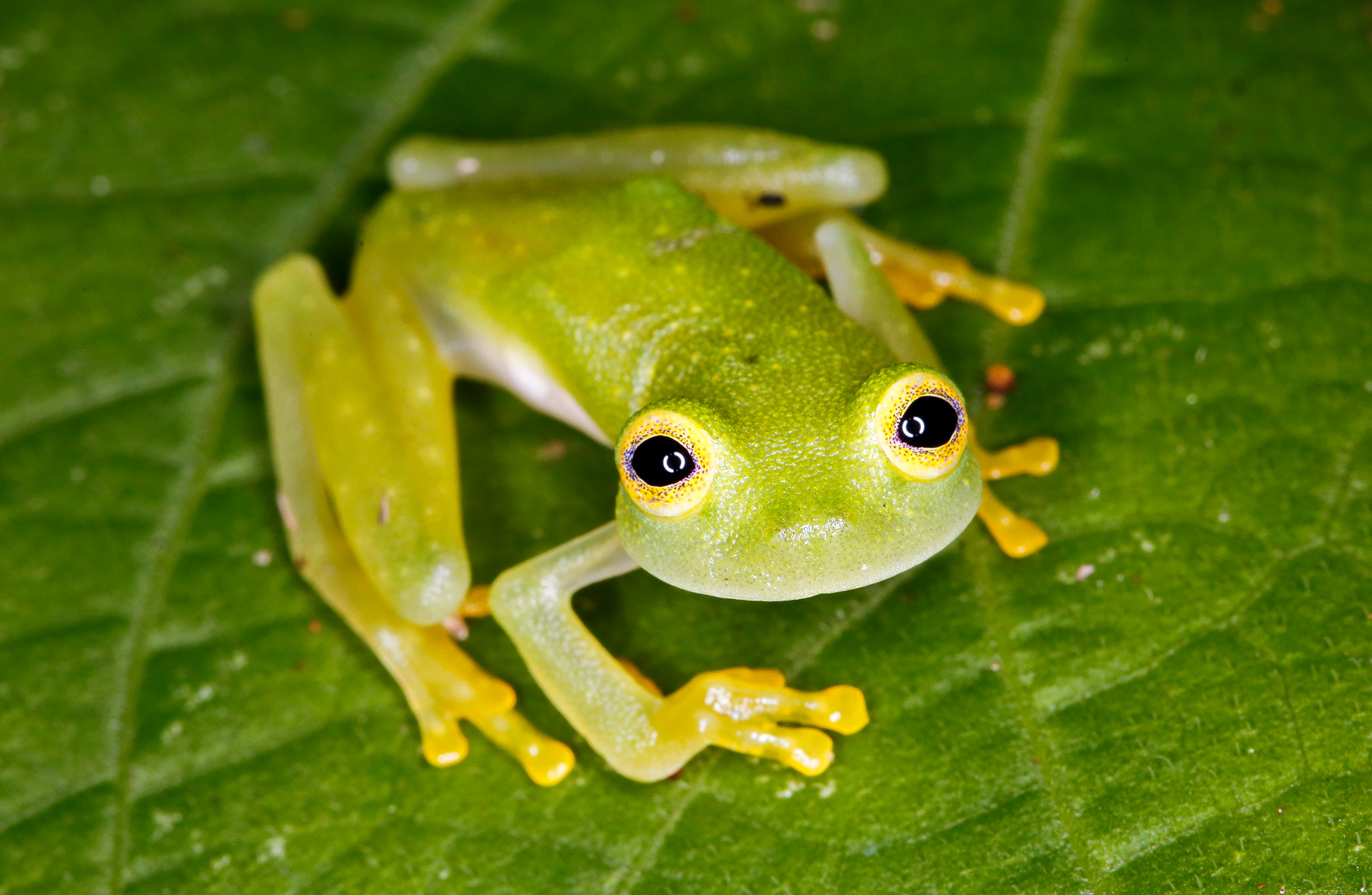 Bare Hearted Glass Frog-Taken at Catappa Waterfall in Carate, Costa Rica near Corcovado National Park. Photo by Ben Blankenship. April 2017.