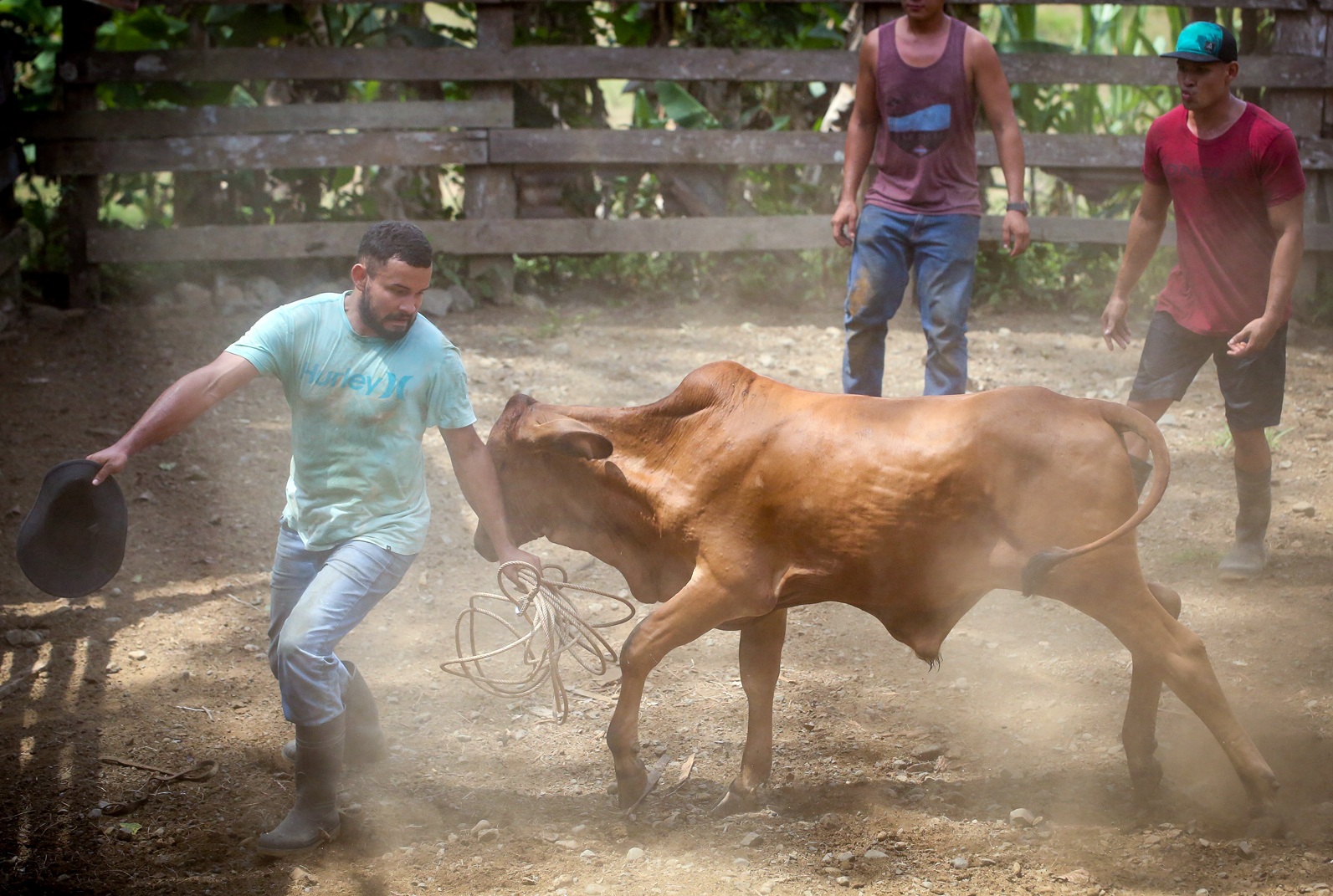A Tico finds himself on the receiving end of a charging bull.