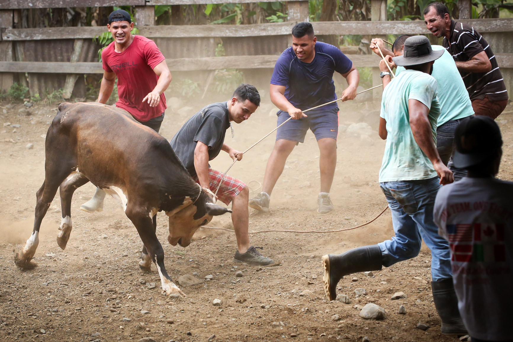 A group of Ticos battle to bring a bull under control.
