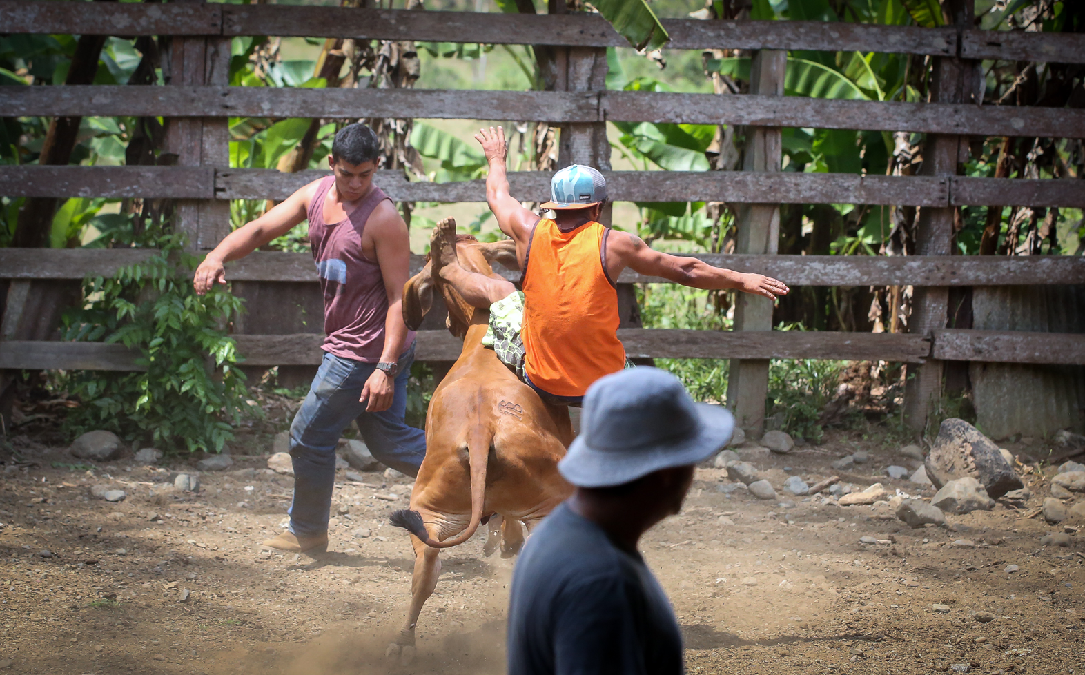 Paison, the barefooted Tico, gets dumped to the ground by a bucking bull.