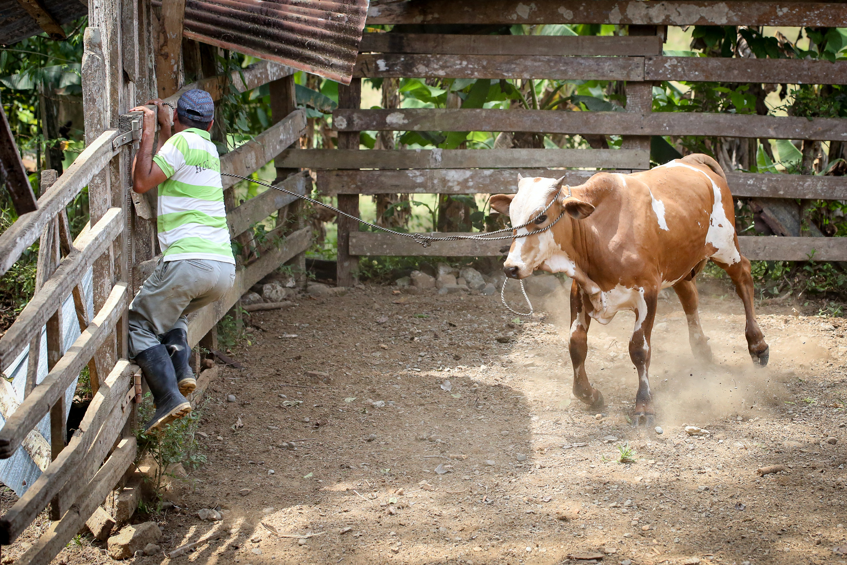 A local man known as Gato clambers up a fence to avoid a charging bull.