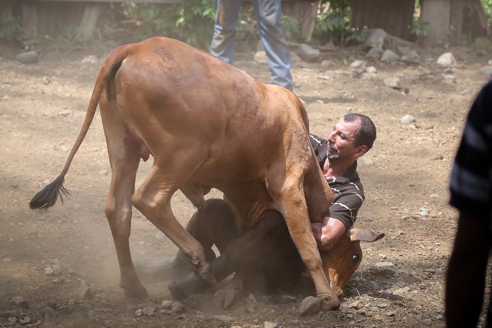 The pock-faced man attempts to wrestle a bull to the ground on his own.