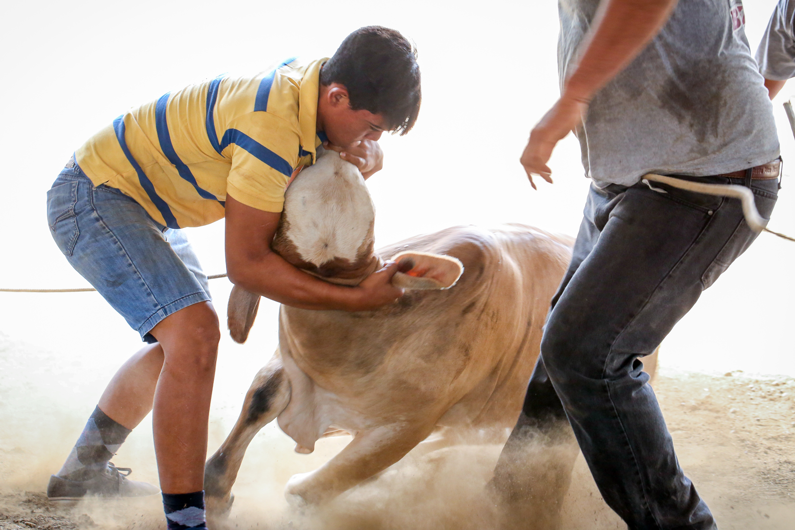 A young Tico twists the head of a bull to compel it to the ground.