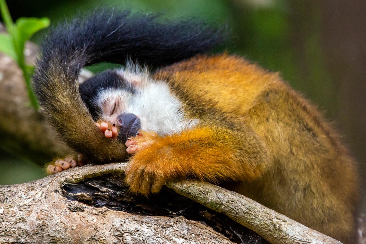 Sleepy Squirrel Monkey - Osa Peninsula