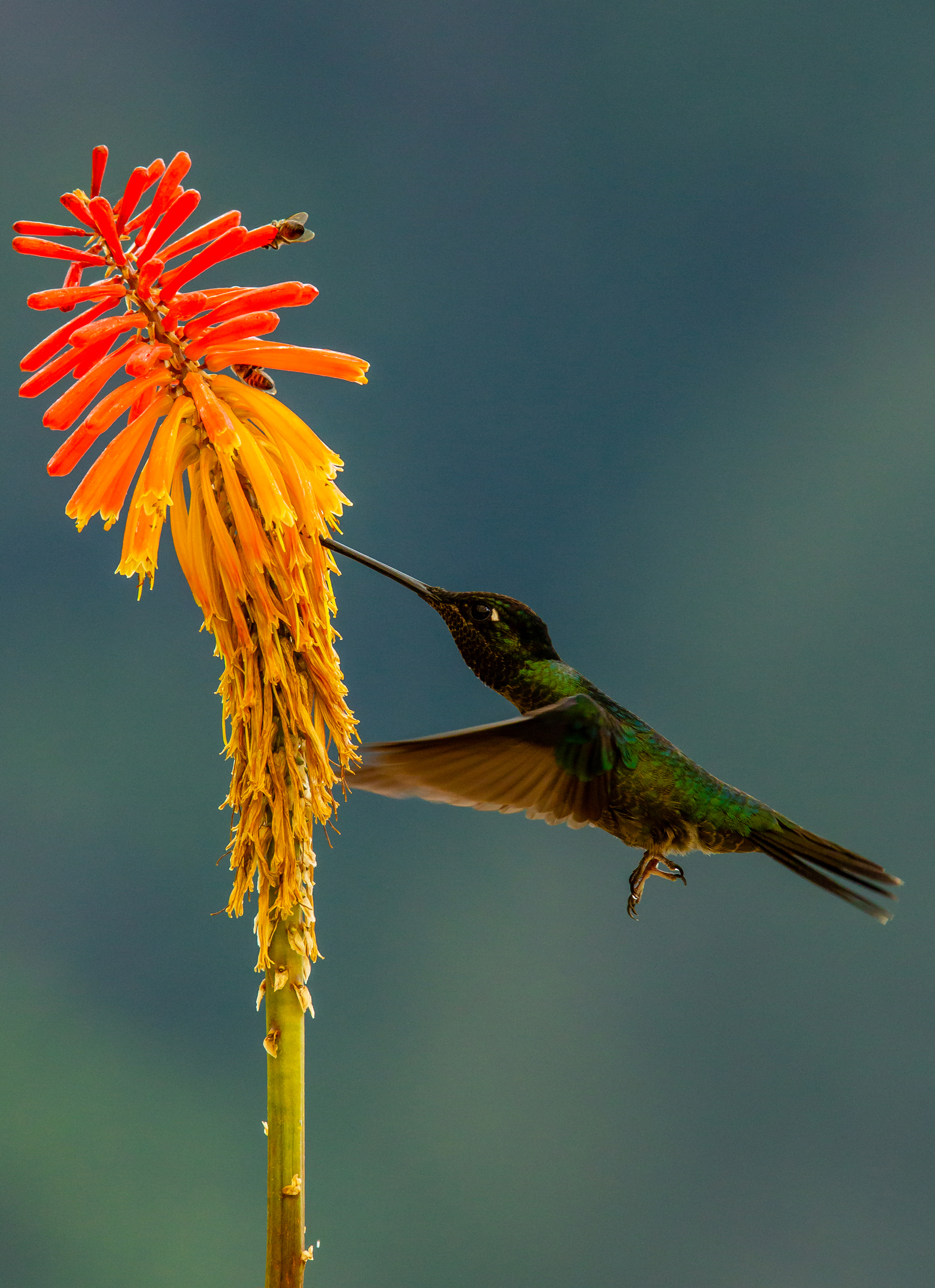 Hummingbird Feeding. Taken in San Gerardo de Dota, Costa Rica. Photo by Ben Blankenship. ©2019