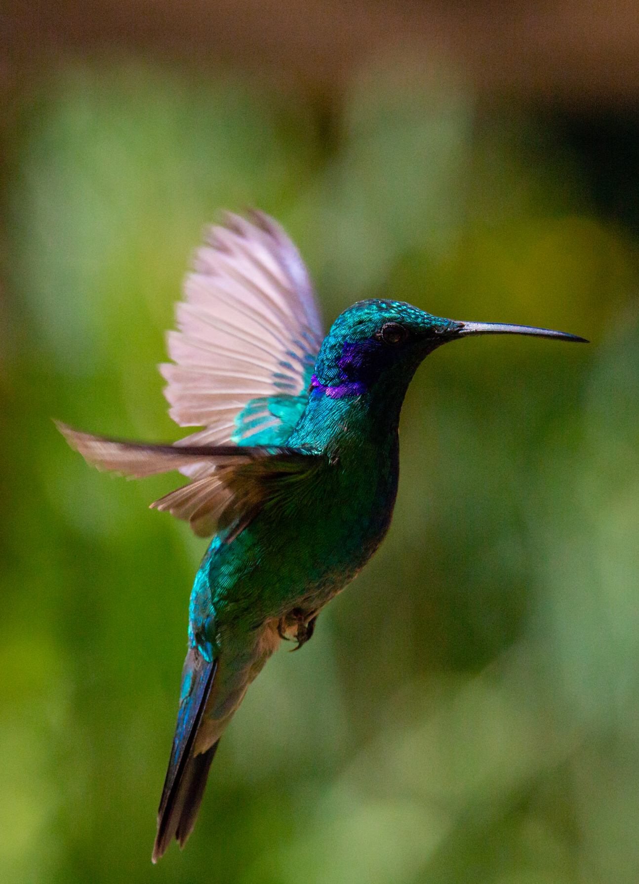 Hummingbird in Flight. Taken in San Gerardo de Dota, Costa Rica. Photo by Ben Blankenship. ©2019