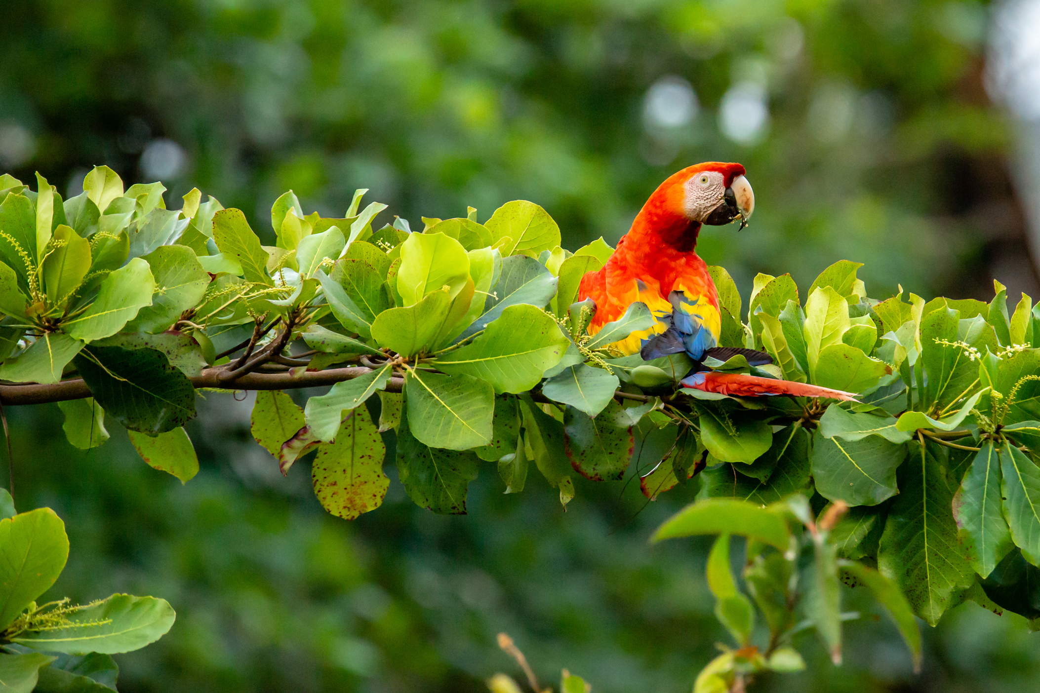 Scarlet Macaw in a Beach Almond Tree. Taken in Carate, Costa Rica. Photo by Ben Blankenship. ©2019
