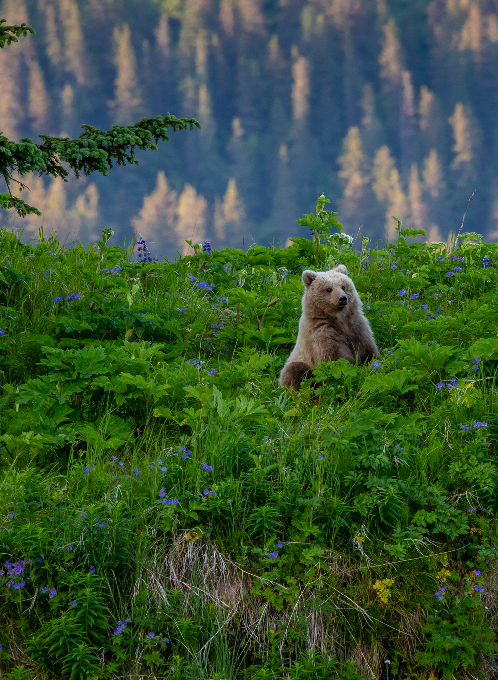 Brown Bear in Lupine