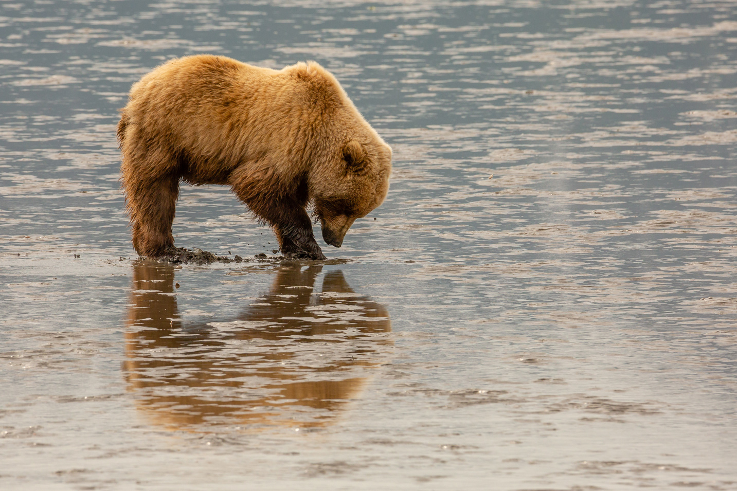 Clamming Bear