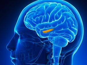 dt_140515_hippocampus_brain_800x6001-300x225.jpg