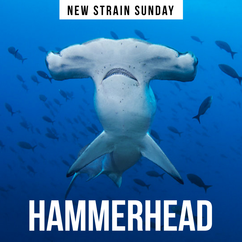 CCM-Hammerhead.jpg