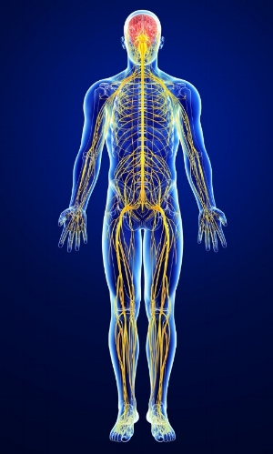 The nervous system refers to all nerves in the body... and there is a lot!